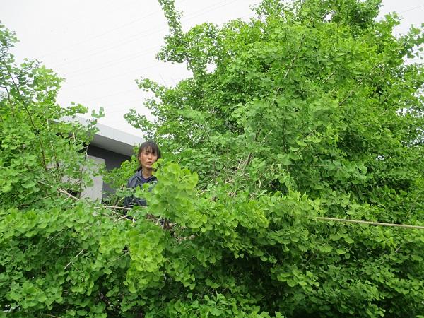 銀杏の木剪定しました