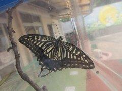 またまたアゲハ蝶になったよ!