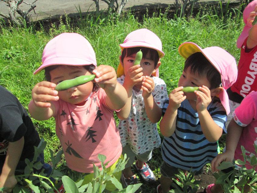ソラマメ収穫(さくら組)