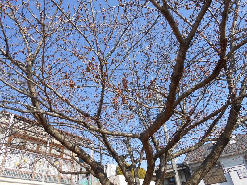 桜開花寸前