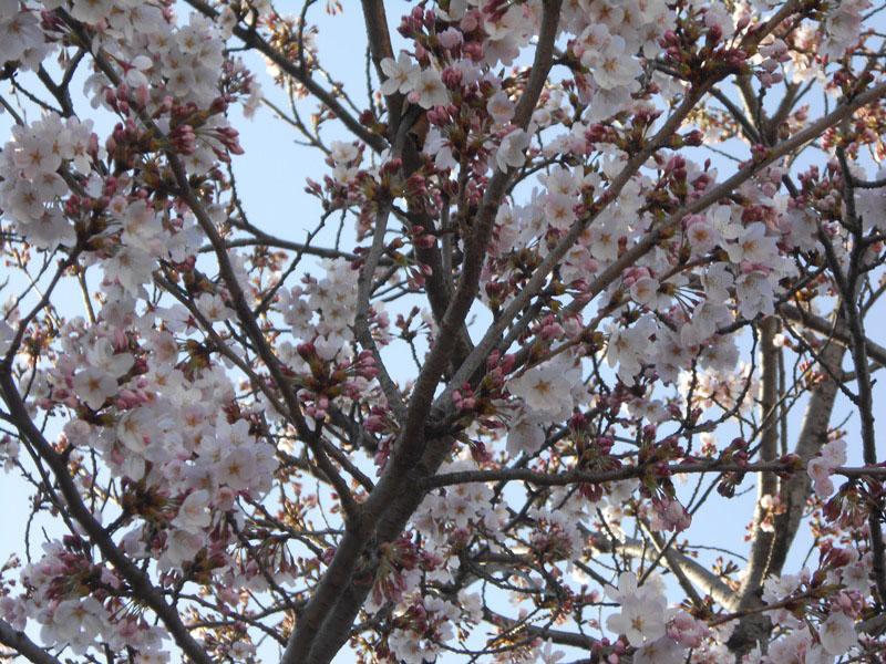 園庭の桜情報