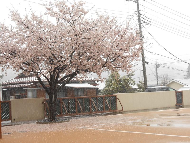 27年最後の桜