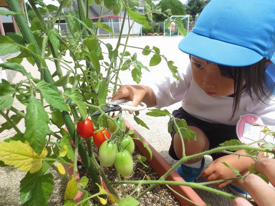 トマトの収穫(#^^#)♡