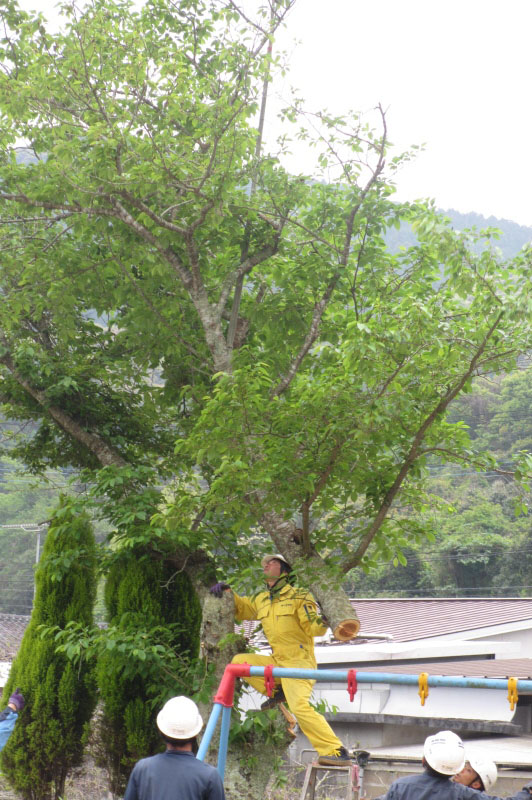 惜しまれつつ伐採、桜の木、ありがとう!